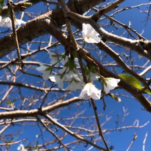 三池港の桜