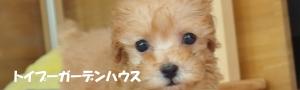 トイプードル・レッド子犬 4頭デビューしました! 【埼玉・東京・専門店】