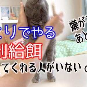 ひとりでやる【猫の強制給餌の方法】あとずさり、嫌がられ、押さえてくれる人がいない時【解説付き動画