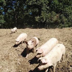 豚肉の販売を再開します!