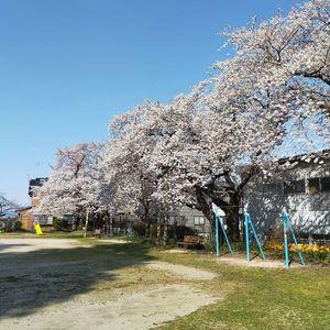 やっと桜が満開