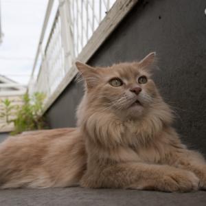 *バルコニーでゆったりニャン!* Maine Coon ♂ Cat