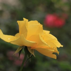 今年のバラ 40.・・・ヘンリー・フォンダ