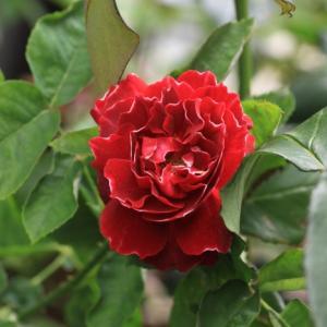 今年のバラ 45.・・・バロン・ジロ・ドゥ・ラン