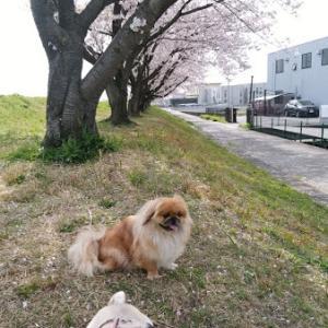 満開の桜の下散歩は楽しい~☆彡