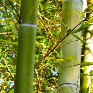 【凶兆】60年に一度しか咲かない「モウソウチク」が開花…池袋東武百貨店の盆栽売り場で
