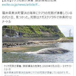 【福井】美浜町菅浜の海岸にクジラが漂着…全国でも珍しい種類か