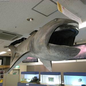 【地震の法則】深海サメ「メガマウス」と「大地震」の関係について