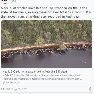 【前触れ】オーストラリアのタスマニア史上最大規模…打ち上げられたクジラの数が「約500頭」近くまで増加