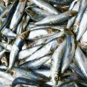 【南海トラフ】和歌山県の河口で「イワシ1万匹」が川で大量に死んでいるのが見つかる!動画あり