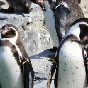 【宇宙人】 ペンギンは「エイリアンだった」可能性が浮上!ペンギンのフンから、金星の大気中にある化学物質と同じモノが発見されてしまう