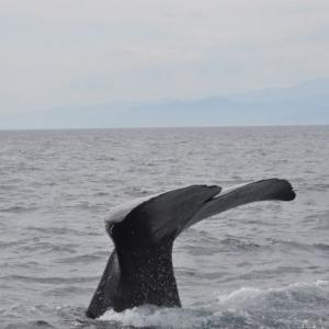 【瀬戸内海】岡山県倉敷の港に体長約10メートル「クジラ」が漂流しているのを発見