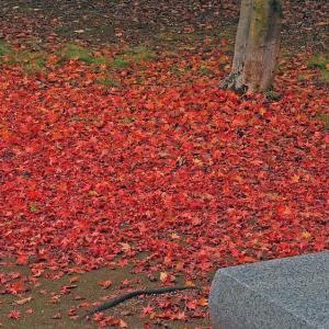 紅葉の落葉