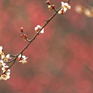 梅の花可憐