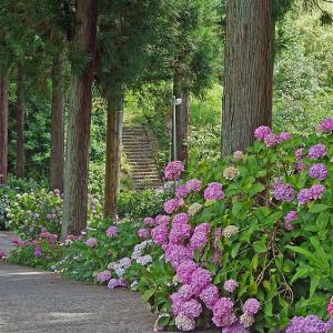 紫陽花の咲く路
