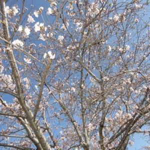 R2.3.31亀鶴公園の桜が見頃、前編