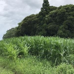 野性味あふれるトウモロコシ畑