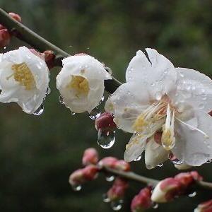 梅の花開花