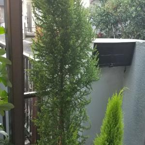 鉢植の木が大きくなりました