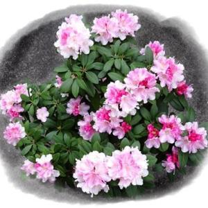 咲きましたシャクナゲ