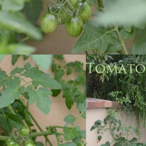 トマトの実がいっぱいつきました♪アジサイもきれいです♪福岡アーティフィシャルフラワー