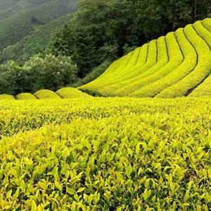 黄金の茶畑で満月の夜の茶摘み