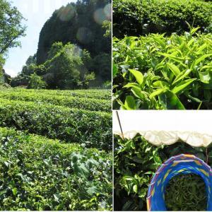 山添村みとちゃ農園さんの茶摘みは真夏の蜜香紅茶!