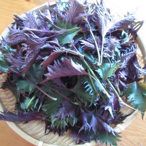 【自作】裏赤紫蘇のジュース