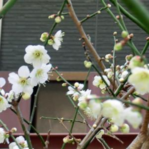 花(梅)が咲きました。
