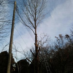 ハンカチの木を剪定