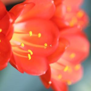 君子蘭 咲きました