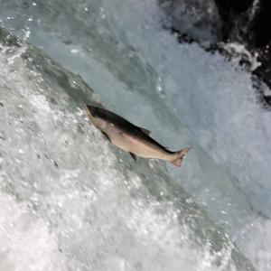 桜鱒の遡上