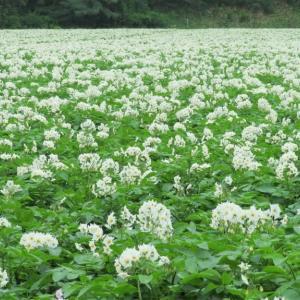 じゃがいもの白い花