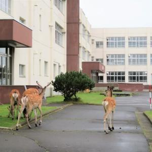 町中のエゾ鹿