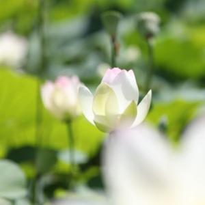 北限のハスの花
