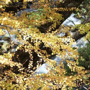 阿寒・・滝見橋の紅葉