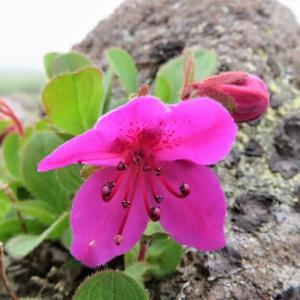 大雪山系・・黒岳の高山植物