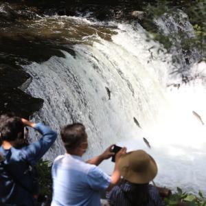 さくら鱒遡上・・さくらの滝