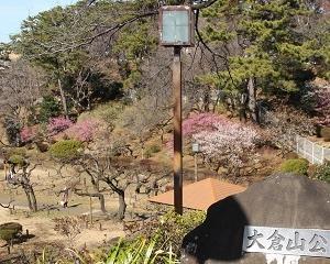 「大倉山公園梅林」の梅がまもなく見頃できれい!!