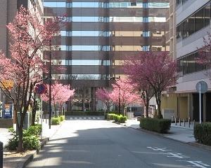 オカメザクラが新横浜で今年も一番早く咲いた!!