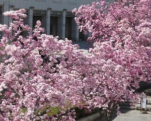 横浜美術館前のピンクのモクレンがとってもきれい!!