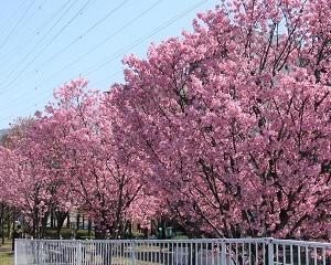 新横浜の桜第2弾、「横浜緋桜」が豪華できれい!!