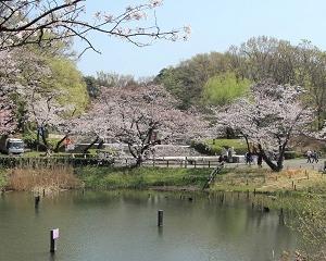 三ツ池公園の桜が超満開できれい!!