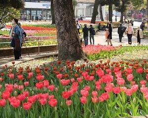 横浜公園のチューリップがとってもきれい!!