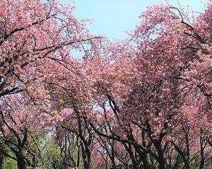 今年もカーボン山の八重桜で締め!!