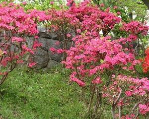 大倉山公園のツツジが見頃で綺麗!!
