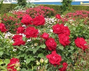 「山下公園」のバラが綺麗で、とっても素敵!!