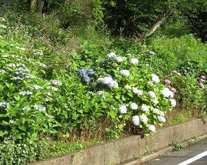 「大倉山公園」周辺のアジサイが見頃で綺麗!!