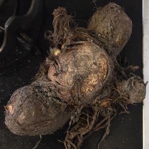 行方不明だった試し掘りサトイモ、見つかる。