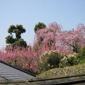 2015年3月京都25  龍安寺3